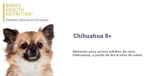 BHN CHIHUAHUA 8+